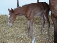 Thoroughbred filly born 4/14/14 Sire: Double Honor Dam: Inabundance Owner: Black Oak Farm