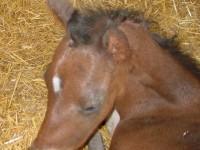 Quarter Horse colt born 5/6/14 Sire: Red Oak Special Dam: M S Fols Glass Owner: Melissa Christ