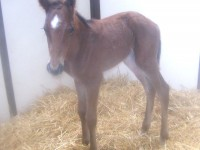 Thoroughbred filly born 4/5/14 Sire: Cape Blanco Dam: Morning Ride Owner: Joel Zamzow, North Shore Racing
