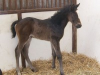 Thoroughbred filly born 2/20/14 Sire: Hold Me Back Dam: Our Miss Brookside Owner: Al & Bill Ulwelling