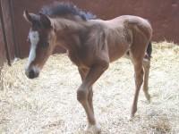 Quarter Horse colt born 4/2/14 Sire: B.P. Phoenix Reign Dam: Personal Regards Owner: Dale Borchers