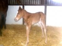 Thoroughbred colt born 3/6/14 Sire: Northern Afleet Dam: Prairie Academy Owner: Prairie Hill Farm, Jim Thares