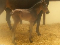Warmblood colt born 4/5/14 Sire: Furstenvall Dam: Rosa Owner: Brandywine Farm