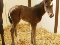 Thoroughbred colt born 2/22/14 Sire: Cougar Cat Dam: Sahm Sweetheart Owner: Eric & Mary Von Seggern