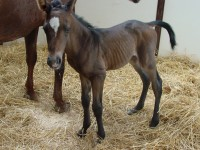 Quarter Horse colt born 6/20/14 Sire: Boundless (TB) Dam: Sassy Owner: Amy Garcia