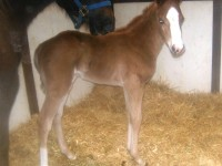 Quarter Horse colt born 2/28/14 Sire: Dash Ta Fame Dam: Say Six Moons Owner: Bob & Julie Peterson