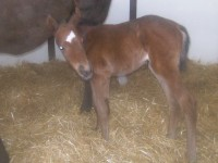 Thoroughbred filly born 3/21/14 Sire: American Lion Dam: Sheso Dazzling Owner: Eric & Mary Von Seggern and Kurt & Melanie Kindshuh