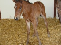 Thoroughbred colt born 4/18/14 Sire: Category Five Dam: Tisourturn Owner: Dale Borchers