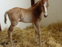 Quarter Horse colt born 4/9/14 Sire: Little Corona Dam: Tonight I Might Owner: Dale Borchers