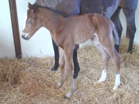 Thoroughbred Filly born 4/3/15 Sire: Kela Dam: Annacious Owner: Prairie Hill Farm, Jim  Thares