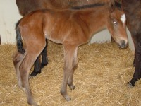 Thoroughbred Colt born 4/7/15 Sire: English Channel Dam: Art Fan Owner: Joel Zamzow, North Shore Racing