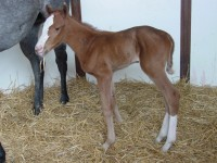 Quarter Horse Filly born 3/17/15 Sire: Capo De Capi Dam: Bac By Demand Owner: Terry Reed