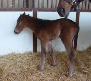 Quarter Horse Colt born 3/27/15 Sire: Captain Courage Dam: Cassie's Boot (TB) Owner: Terry Reed