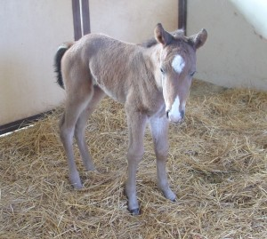 Quarter Horse filly born 2/11/15 Sire: VS Flatline Dam: Certainly A Certain Owner: Magnuson Farm