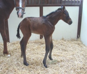 Warmblood filly born 5/15/15 Sire: Damsey Dam: Dee Dee Owner: Brandywine Farm