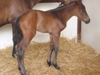 Thoroughbred Colt born 5/8/15 Sire: Spring at Last Dam: Firecard Owner: Joel Zamzow, North Shore Racing
