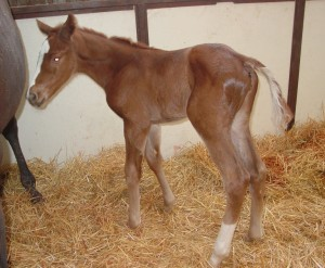 Thoroughbred Filly born 4/22/15 Sire: Giant Oak Dam: Funny Girl Rachel Owner: Jeff Drown