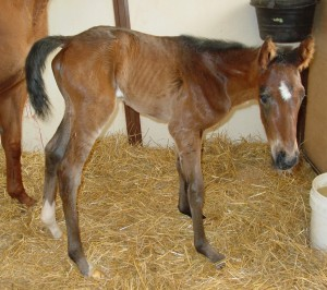 Thoroughbred Filly born 4/16/15 Sire: Fort Larned Dam: Gold Performance Owner: Roch Ruhland & Michael Jewell