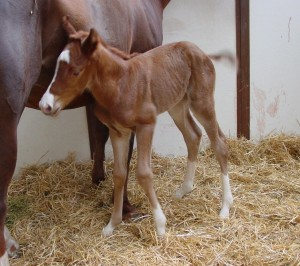 Thoroughbred Filly born 5/2/15 Sire: Northern Afleet Dam: Isola Rosa Owner: Black Oak Farm