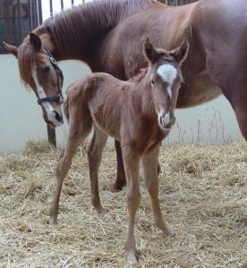 Thoroughbred Filly born 3/11/15 Sire: English Channel Dam: Javana Owner: Black Oaks Farm