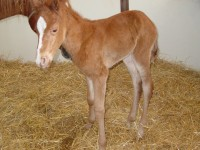 Quarter Horse Filly born 4/17/15 Sire: Machine Made Dam: Jewell Owner: Julie Bernick