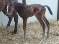 Thoroughbred Colt born 4/25/15 Sire: Morning Line Dam: Lilly Cozzene Owner: Travis Green