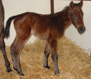 Thoroughbred Colt born 3/26/15 Sire: Successful Appeal Dam: Lucky Colleen Owner: Todd & Stacy Nelson