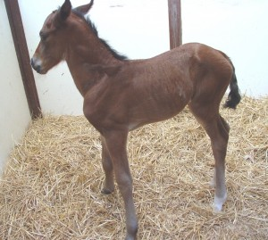 Warmblood colt born 6/8/15 Sire: Gallarius Dam: Red Owner: Susan Thomas