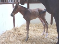 Thoroughbred Colt born 4/20/15 Sire: Heart of the Storm Dam: Sister Gertrude Owner: Kenneth White
