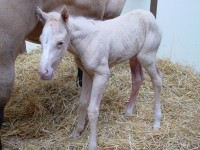 Quarter Horse colt born 2/28/15 Sire: Lil Joe Cash Dam: Smart Lil Miss Priss Owner: Mark Dupont