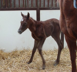 Arabian Filly born 3/10/15 Sire: LF Al Saher Dam: Tahawi Desert Rose Owner: Mickey Hay