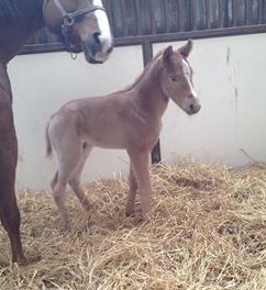 Quarter Horse colt born 1/31/15 Sire: VS Flatline Dam: The Sweetest Version Owner: Magnuson Farm