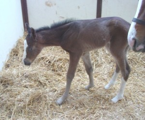 Quarter Horse Filly born 3/6/15 Sire: RL Best of Sudden Dam: So Good IM Owner: Magnuson Farm