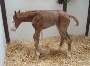 Quarter Horse Filly born 4/17/15 Sire: Spooks Gotta Gun Dam: Wimpy's Lil Frauline Owner: Ann Pulling
