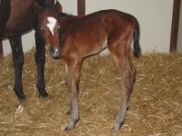Thoroughbred Colt born 2/26/16 Sire: Bustin Stones Dam: April Owner: Windylea Farm