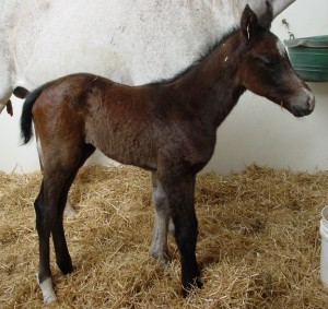 Thoroughbred Filly born 5/1/16 Sire: Lovango Dam: Blue Gene Song Owner: Eric & Mary Von Seggern