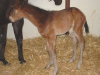 Thoroughbred Colt born 3/26/16 Sire: Can the Man Dam: Condesa Owner: World Thoroughbreds