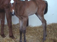 Thoroughbred Filly born 4/30/16 Sire: Mucho Macho Man Dam: Gold Performance Owner: Roch Ruhland/Mike Jewell