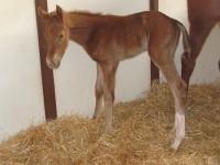 Thoroughbred Filly born 3/24/16 Sire: Sidney's Candy Dam: Javana Owner: Black Oak Farm