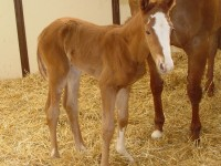 Quarter Horse filly born 4/3/16 Sire: Apolitical Jess Dam: Lena's Rare Lady Owner: Tom & Jan Pouliot