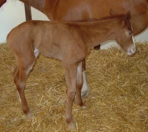 Quarter Horse colt born 5/1/16 Sire: Confederate Leader Dam: Midge Owner: Stacy Fruth