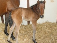 Thoroughbred Filly born 2/26/16 Sire: Student Council Dam: Missy N Owner: Wind N Wood Farm