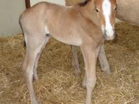 Quarter Horse Colt born 3/21/16 Sire: VS Flatline Dam: She's Been Frosted Owner: Magnuson Farm
