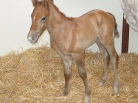 Quarter Horse Colt born 3/25/16 Sire: Knud With Wings Dam: Whereshesupposedtobe Owner: Terry Reed
