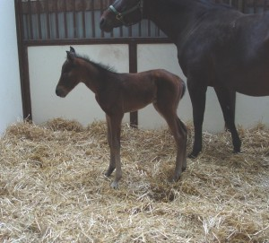 Quarter Horse Colt born 4/26/17 Sire: It's A Southern Thing Dam: Goodness I'm Green Owner: Tony Anderman