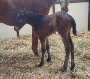Thoroughbred Filly born 3/22/17 Sire: Successful Appeal Dam: Holy Cow She's Sassy Owner: George Weir III