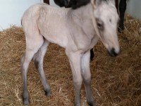 Quarter Horse Filly born 4/11/18 Sire: Tejons White Gold Dam: Bailey H King Owner: Natalie Zuccone