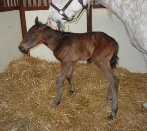 Quarter Horse Colt born 4/1/18 Sire: He's Relentless Dam: Engine Number Nine