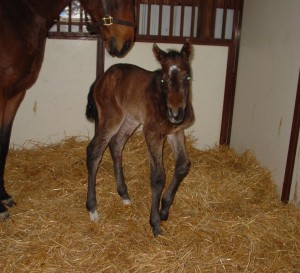 Thoroughbred Filly born 1/21/18 Sire: Cairo Prince Dam: Love the Breeding Owner: Kim Heytens