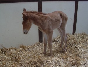 Quarter Horse Filly born 2/24/18 Sire: The Rock Dam: Vitals Are good Owner: Magnuson Farm